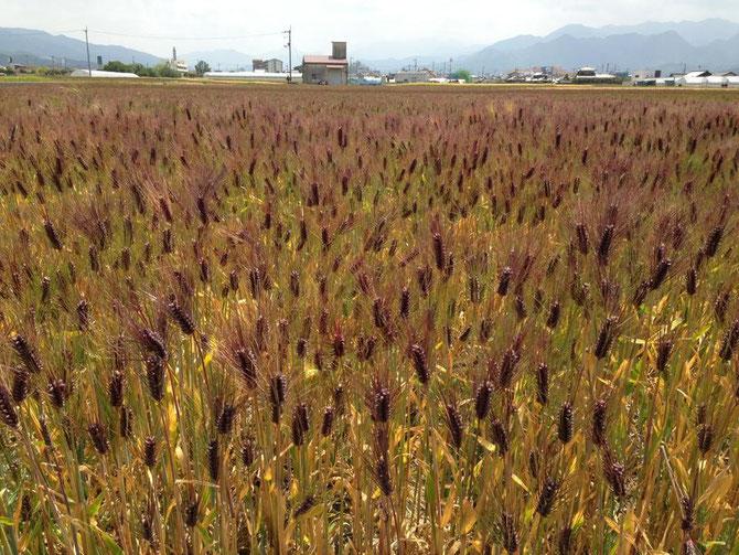 25年産収穫間近のもち麦(愛媛県東温市)