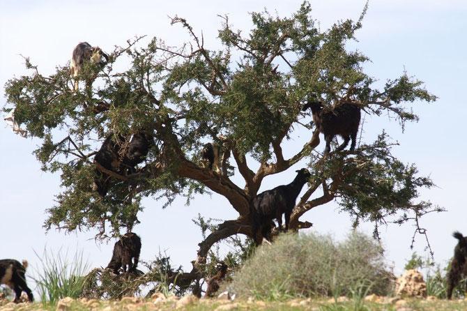Geiten klimmen in arganbomen