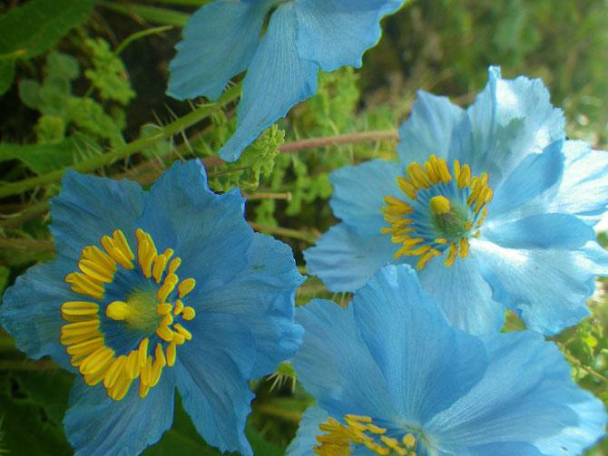 標高4,700mにあるガンデン寺周辺の巡礼路に咲くブルーポピー