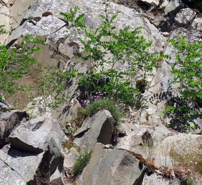 Gesucht ist diesmal der Name der rosa blühenden Pflanze in der Bildmitte.