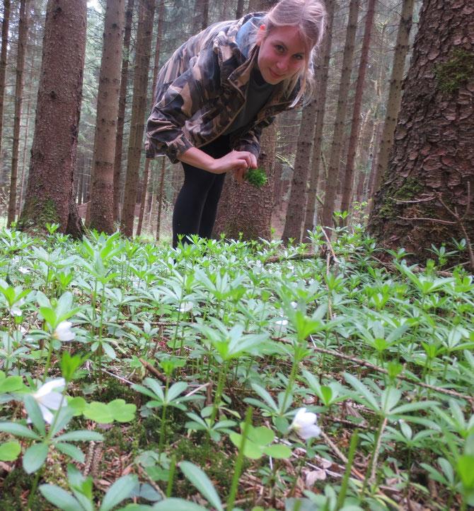 Meine Tochter Hanna beim Waldmeister sammeln. Dazwischen sind auch ein paar Waldsauerklee-blättchen und -blüten zu erkennen - auch sehr lecker zum Essen!