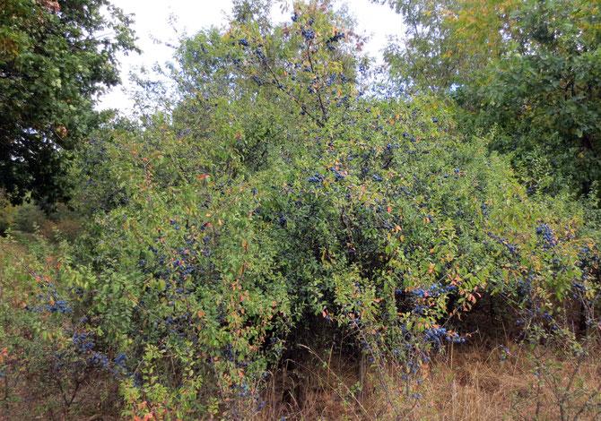 Das für die Natur ansonsten gar nicht gute trockene und zu warme Jahr, sorgte jedoch für eine einmalige Wildfruchtfülle. Hier an meiner Lieblings-Schlehenhecke in der Nähe von Neukenroth und ...