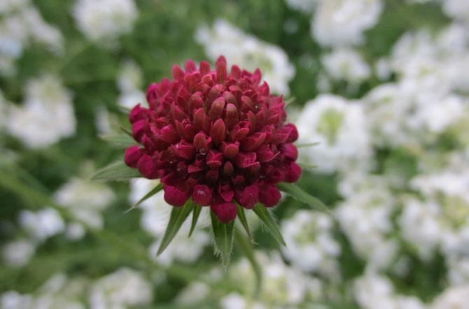 Die Rote Witwenblume (Knautia macedonica) erhebt sich aus einem Meer von weißen Nachtviolen.