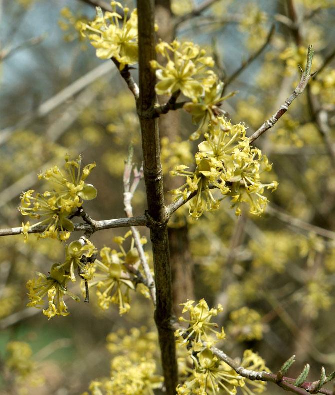 Die Kornelkirsche (Cornus mas) - 2014 öffnete sie schon in der ersten Märzhälfte ihre zarten gelben Blüten.