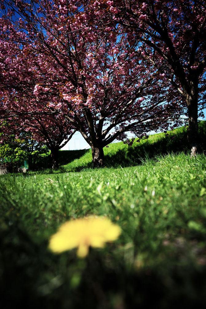 日本 北海道 札幌 Y 桜を見上げる