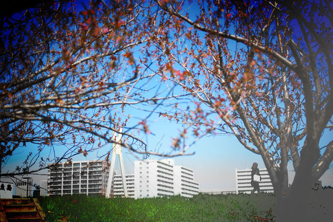 日本 北海道 札幌 豊平川 咲くを待つ桜の蕾たち