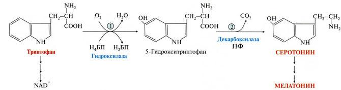 триптофан, серотонин, 5-гидрокситриптофан, мелатонин, гормон, счастье