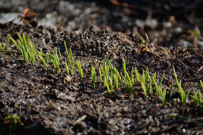 大分 農業体験 大麦 冬