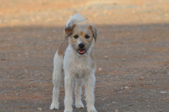 Hier seht ihr unseren Oskar. Es ist ein Parson Russel Terrier; geb. am 29.11.2011.