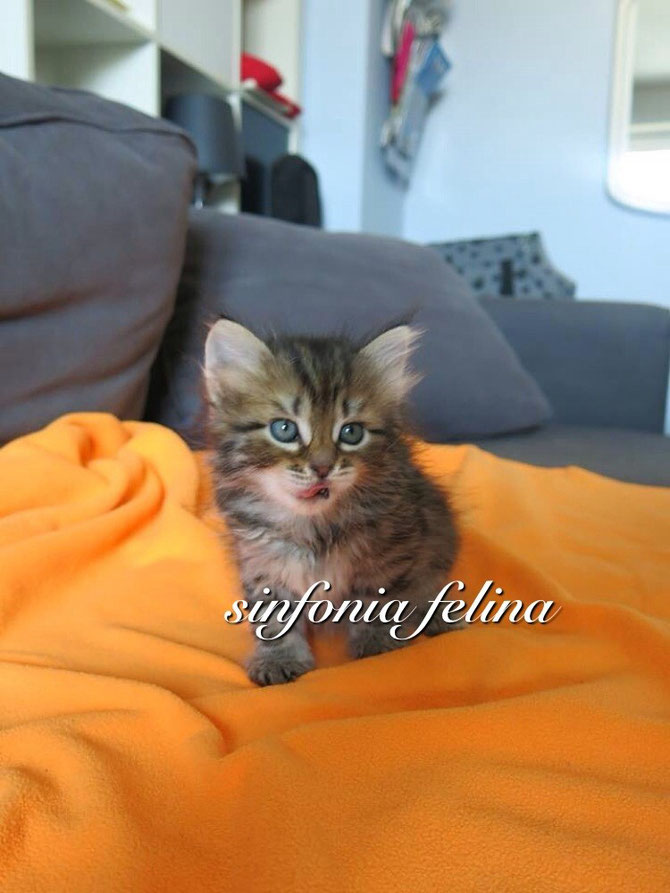 Honey Sinfonia Felina