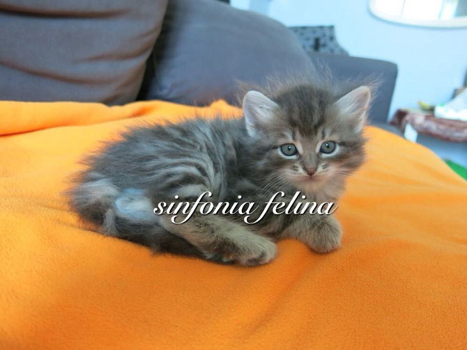 Hero Si fonia Felina