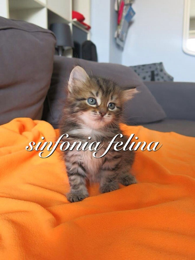 Honey Sinfonia Felina ❤️