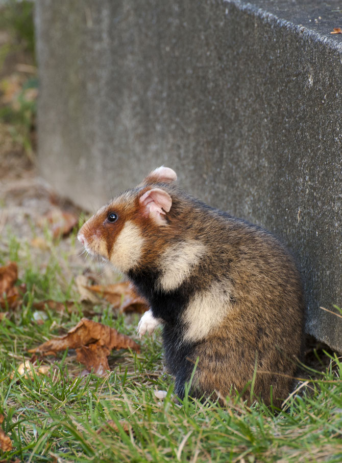 Der Feldhamster/Europäische Hamster (Cricetus cricetus)