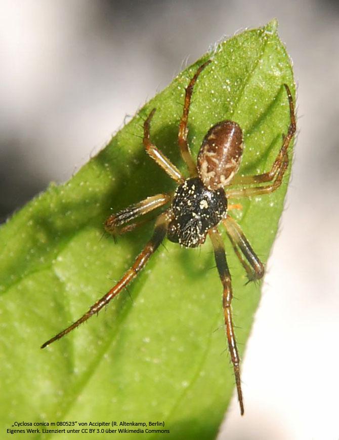 Die Konusspinne - Männchen (Cyclosa conica)