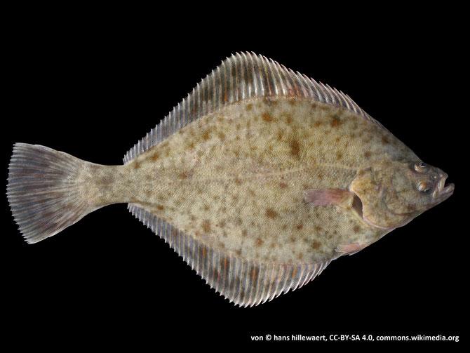 Flunder (Platichthys flesus)
