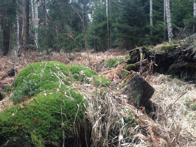 Der Urwald Weißwasser stirbt in diesen Tagen
