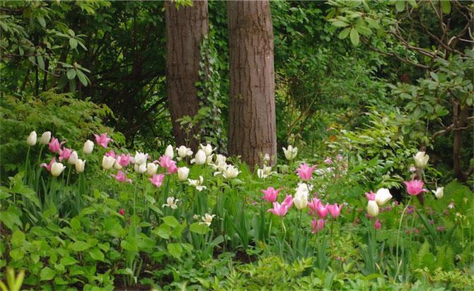 Tulpenpracht im Helenenweg Garten Kirchen