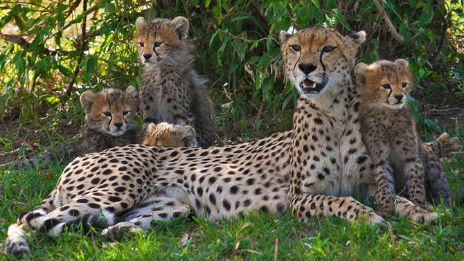 Ghepardo con i suoi cuccioli.