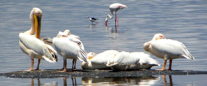 Pellicano Bianco-Great White Pelican (Pelecanus onocrotalus)-Lago Naivasha