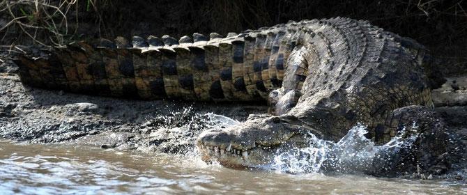 Crocodile on Tana river. Kenya