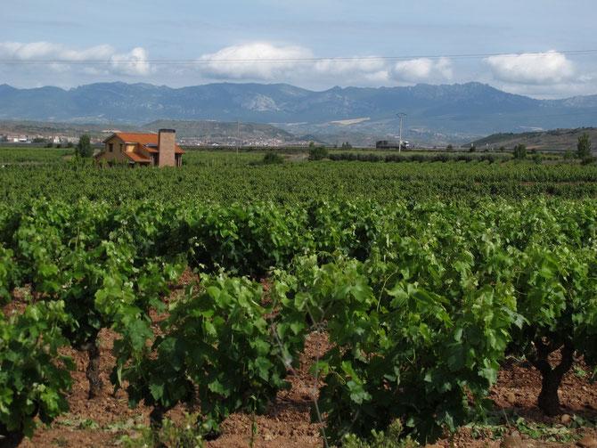 Der Weg führt quer durch Rioja. Die Produkte aus dem Region haben mich auf dem ganzen Jakobsweg begleitet.