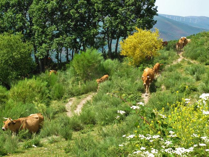 Glückliche Kühe in Cordillera Cantabrica.