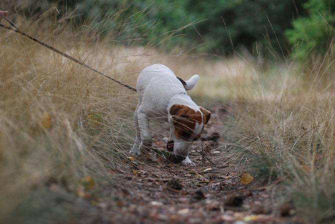 jack russell terrier Jack Spark