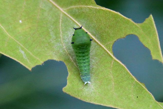 アオスジアゲハの幼虫