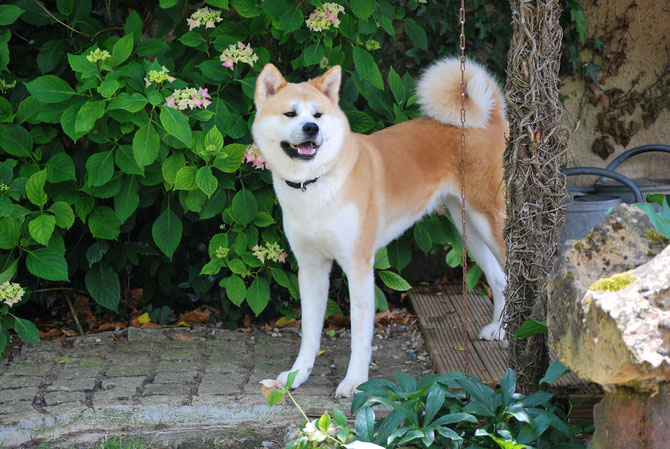 akita inu was sie vor dem kauf ber die hunderasse aus akita in japan wissen sollten levage. Black Bedroom Furniture Sets. Home Design Ideas
