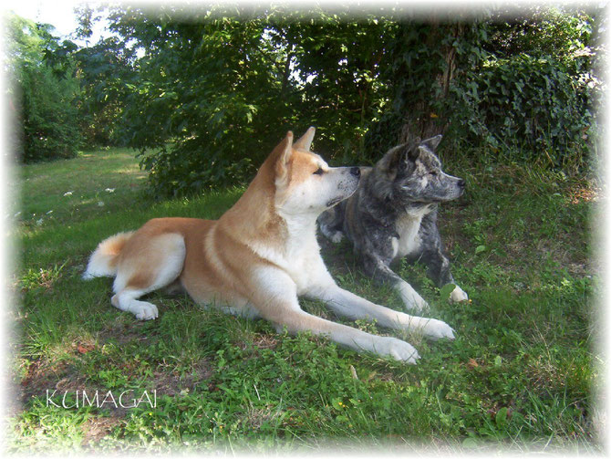 Rakuna and Samourai, our first Akita Inu