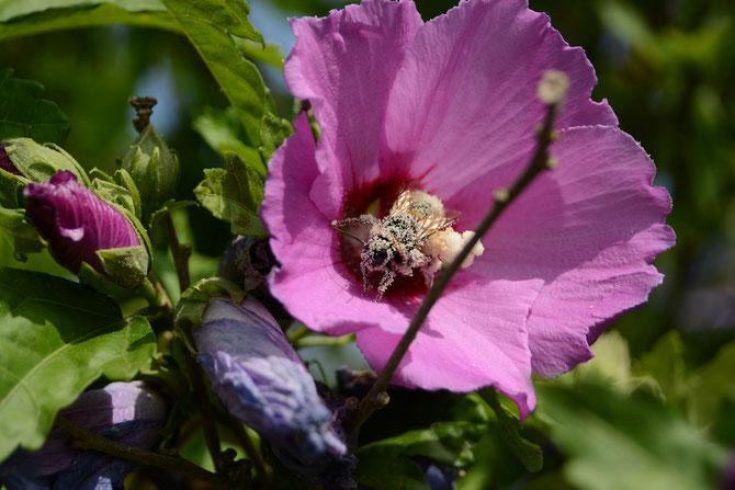 Tag 11 - Bienen beim Pollenbad - Bees having a pollen bath
