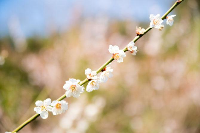 梅の花@彦根城