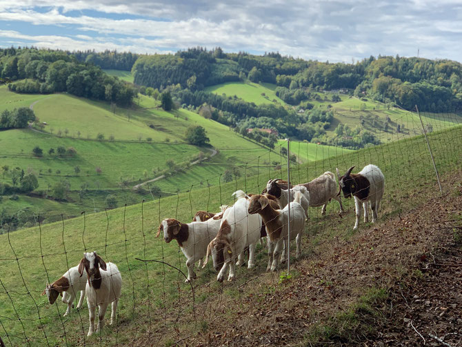Ziegen und Kühe für Wanderung im Schwarzwald mit Kindern.
