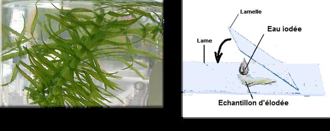 Feuille d'Egeria densa (proche de l'Elodée et plus résistante) et la création d'une lame pour observation au microscope. Source : N.CLERC.