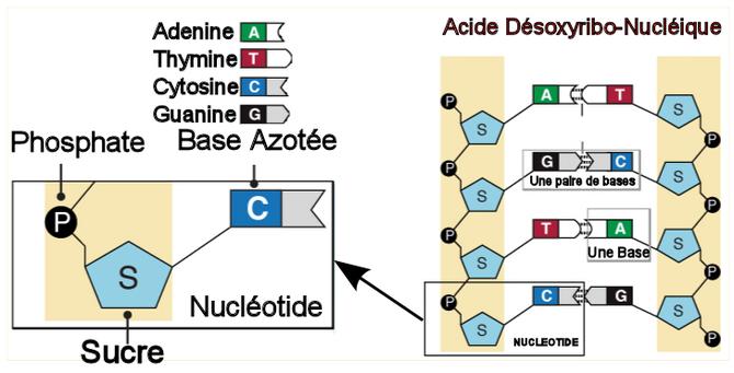 Structure de l'ADN. Source: http://apiculture-populaire.com/genetique.html