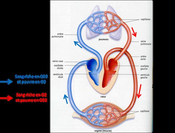 Circulation générale et pulmonaire. Source: modifié de BELIN SVT 2008.