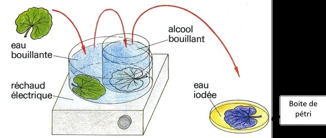 Principe de la décoloration des feuilles à l'alcool bouillant puis leur coloration à l'eau iodée. Source : ?