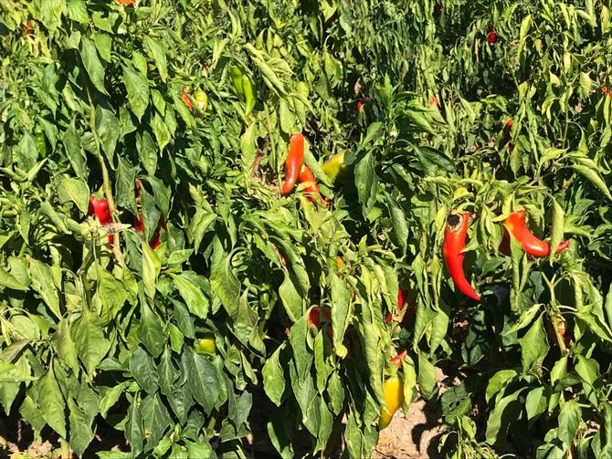 Paprikafelder bei Alaşehir