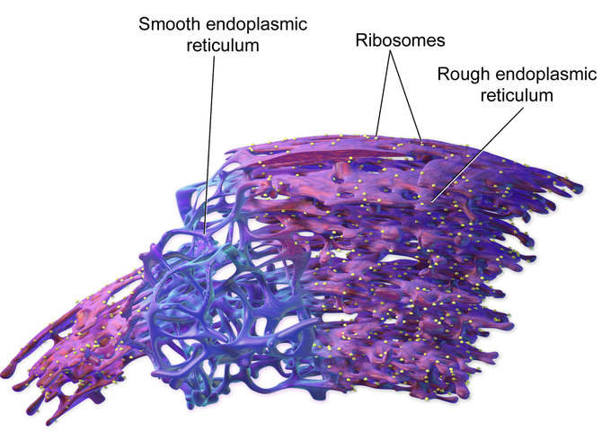 Smooth and Rough Endoplasmic Reticulum