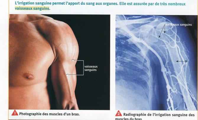Photo et angiographie des vaisseaux du bras d'un athlète. SVT, Belin 2009, p54.