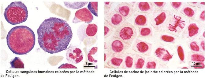 Cellules dont le noyau est coloré au Feulgen. Source: http://jeanvilarsciences.free.fr/?page_id=422