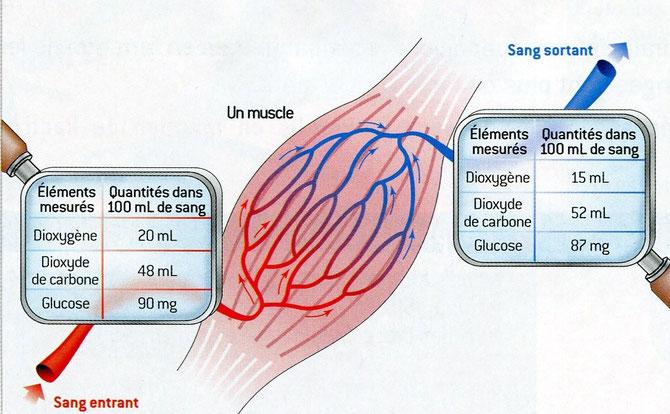 Mesures du sang entrant et du sang sortant au niveau des capillaires d'un muscle. SVT Nathan, 2006 p65.
