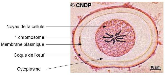Cellules d'ascaris en division cellulaire. Source: internet.