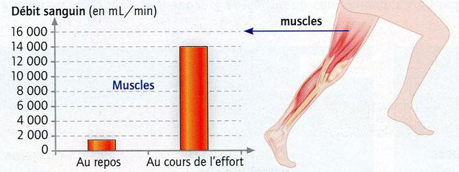 Débit sanguin dans les muscles au repos et en activité. SVT, Belin, 2009 p 55.