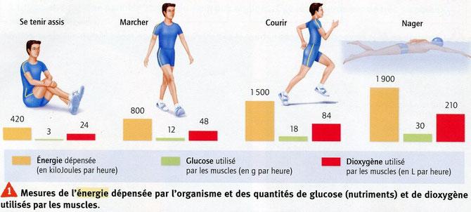 Mesures de l'énergie dépensée par l'organisme et quantité de glucose (nutriments) et de dioxygène utilisés par les muscles. SVT Belin, 2009 p56.