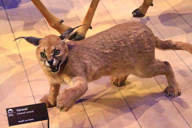 Caracal, mammifère carnivore. Muséum d'histoire naturelle, Paris (M. Clerc).