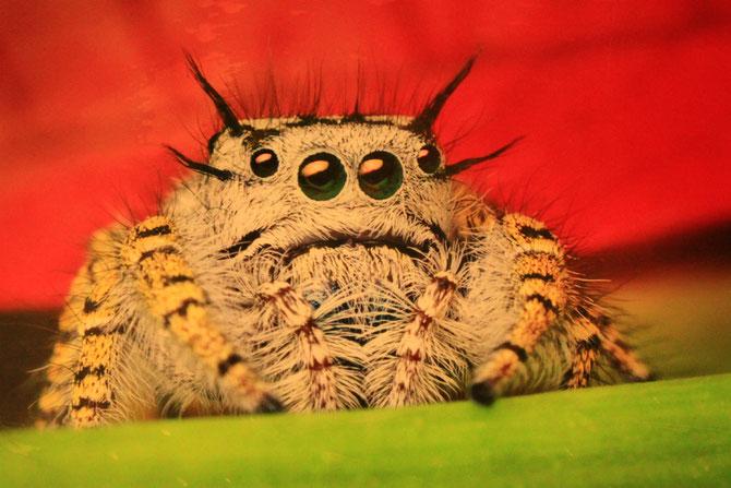 Photo de la tête d'une araignée de la famille des Mygales. Muséum d'Histoire Naturelle. Noter les yeux globuleux situés sur l'avant et permettant à l'araignée d'apprécier les distances. (Photo: Clerc)