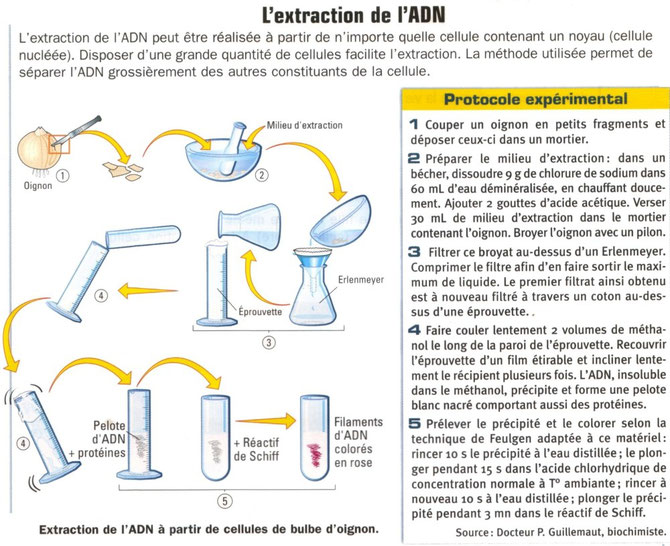 Protocole d'extraction de l'ADN d'oignon.