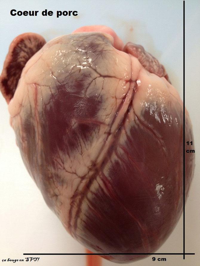 Coeur de porc, vu en face dorsale. Sources: ça bouge en SVT.