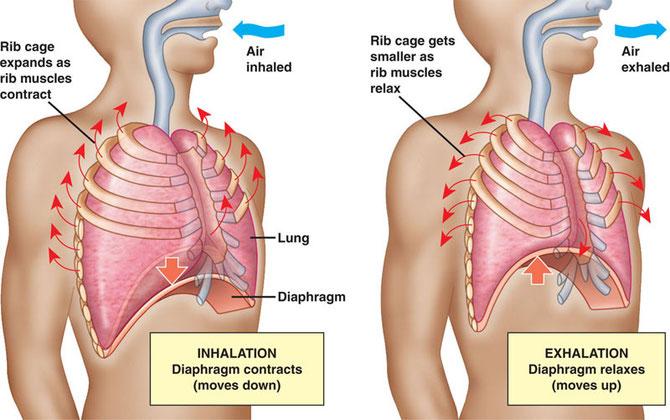 Trajet de l'air lors du mouvement respiratoire. Sources: modifié d'internet. (Cliquer pour agrandir).